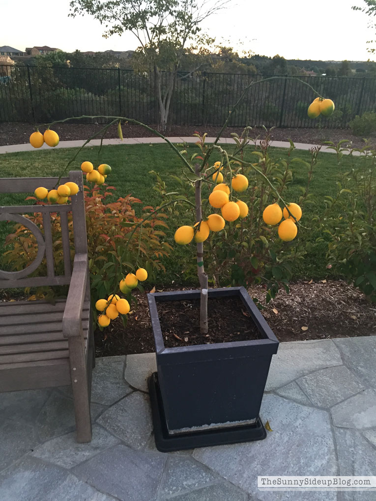 weak-lemon-tree