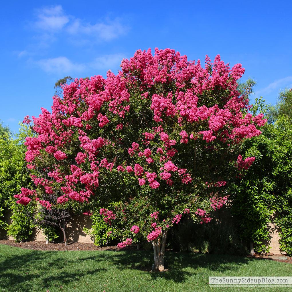 crape-myrtle-trees