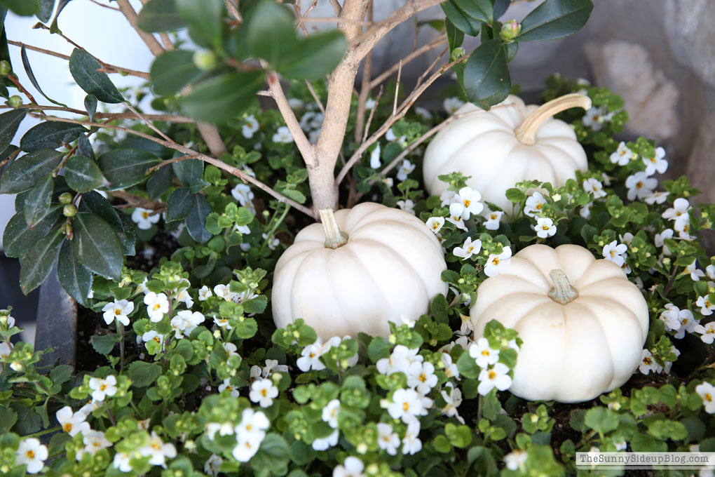 mini-white-pumpkins