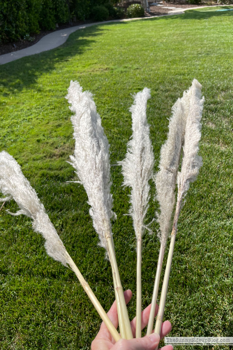 Pampas Grass, Fall Decor (Sunny Side Up)